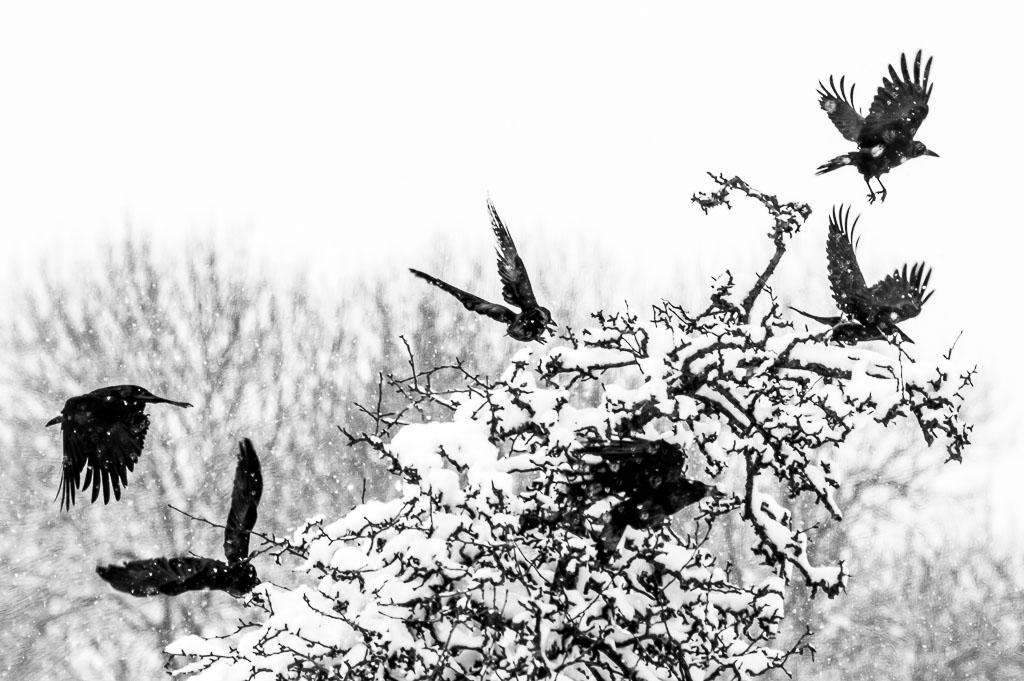 Noir et Blanc / Sépia / Désaturation partielle / Traitements divers Corneille-noire-0001