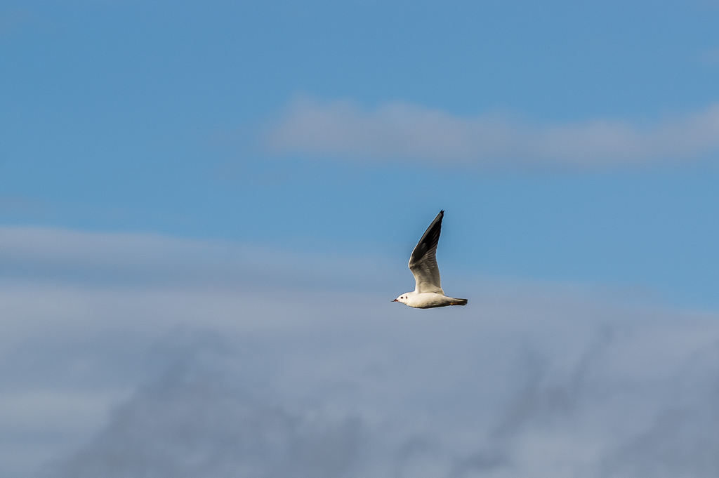 Faune sauvage - Page 29 Mouette-rieuse-0002